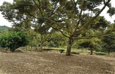 马来西亚 猫山王榴梿园 出售 Mature Durian Plantation in Machap (Johor, West Malaysia) for Sale